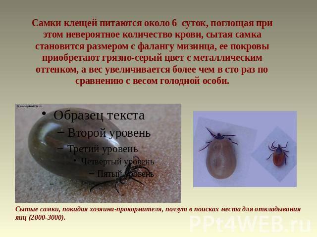 ❶ нимфа (личинка) клеща: как выглядит, этапы развития, опасна ли для человека - отзывы