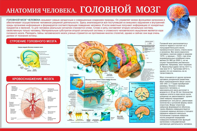 Мозг — википедия. что такое мозг