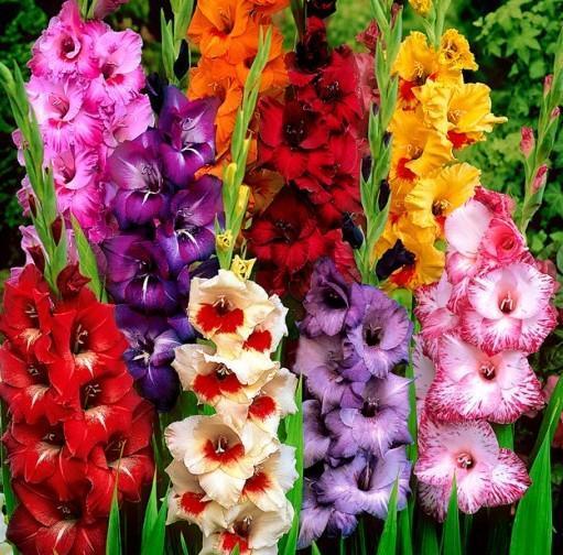 Гладиолусы: описание и особенности выращивания - энциклопедия цветов