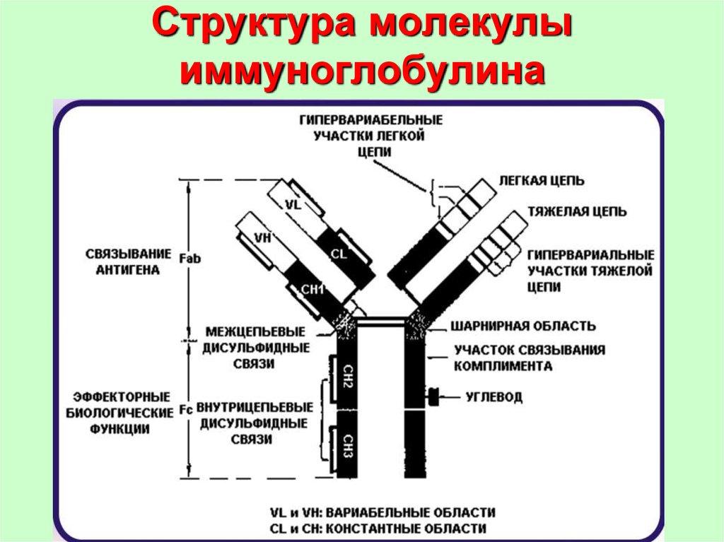 Иммуноглобулин человека