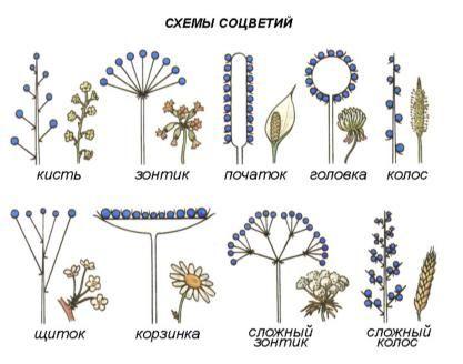 Соцветия растений | student guru