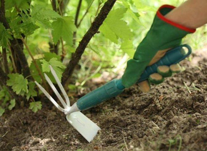 Малиновое дерево (голд, крепыш, сказка, таруса): описание сортов, посадка и уход, размножение