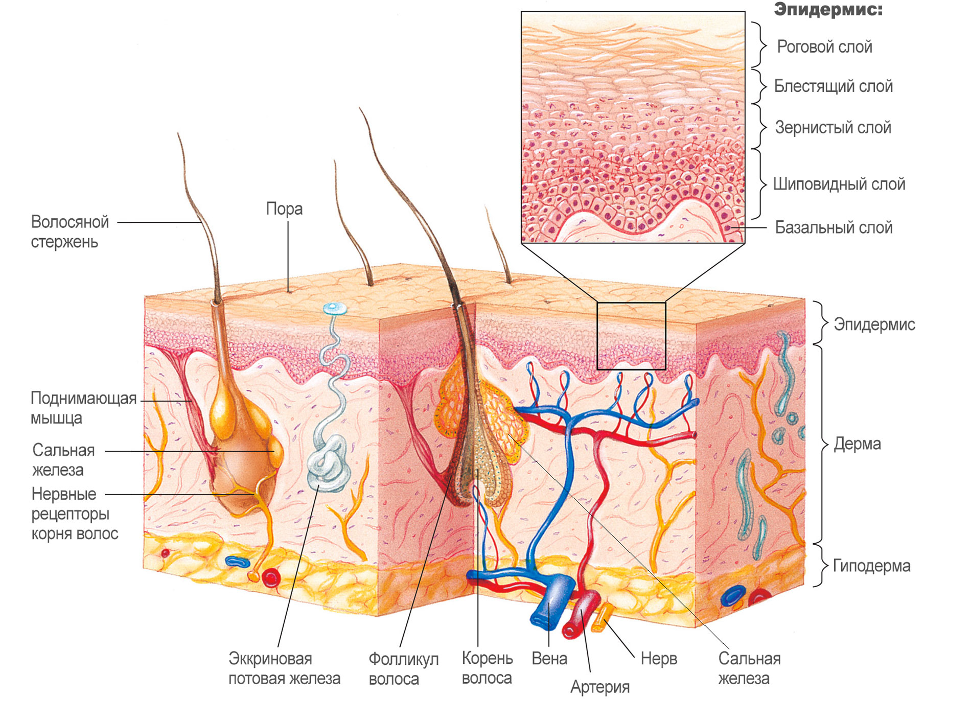 Строение кожи. эпидермис