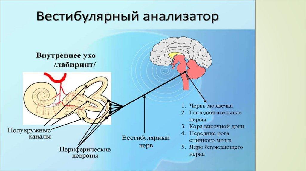 Темное мышечное чувство: как тело «видит» мышцами