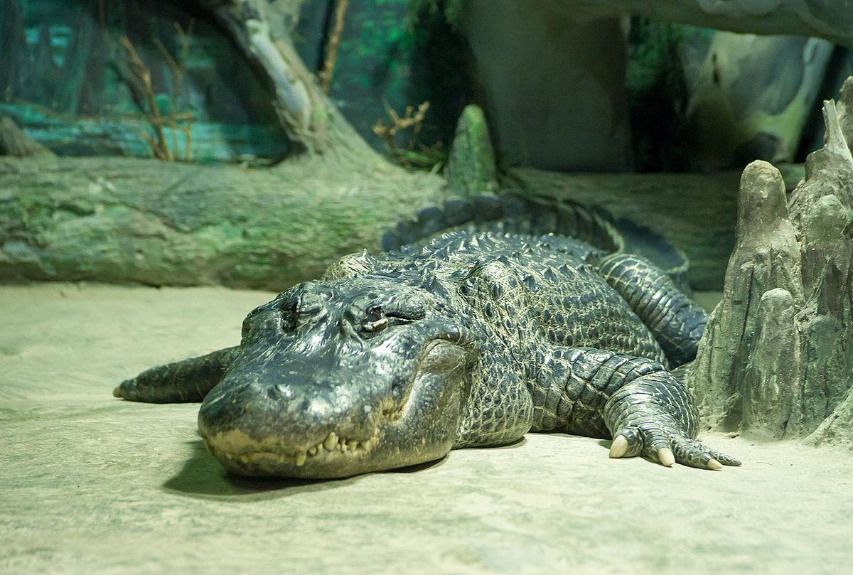 Крокодил – происхождение, питание, интересные факты, фото и видео