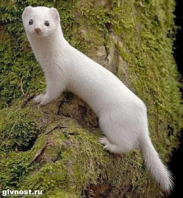 Ласка (животное) википедия
