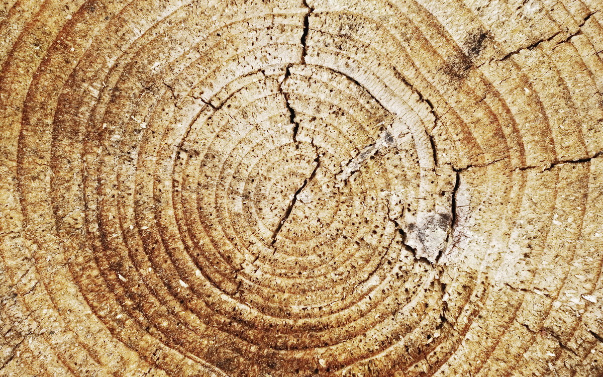 О чем могут рассказать годичные кольца деревьев
