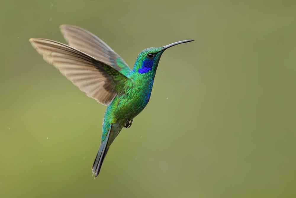 Колибри – описание, ареал, питание, размножение, фото и видео  - «как и почему»