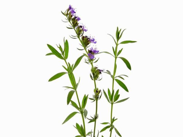 Трава иссоп: лечебные свойства и противопоказания, химический состав, применение, отзывы