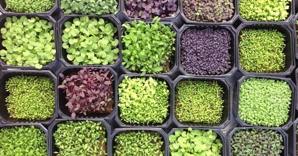 Микрозелень на подоконнике – новый тренд домашнего огорода | тренды (огород.ru)