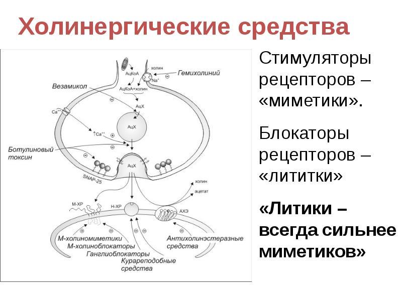 Функция ацетилхолина и механизм действия