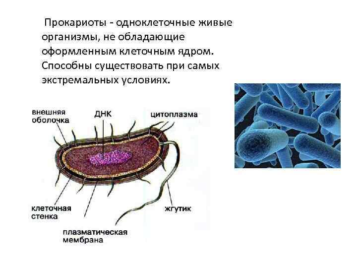 Прокариоты — википедия. что такое прокариоты