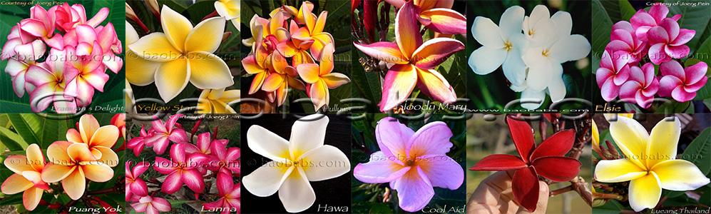 Уход заплюмерией вдомашних условиях после покупки, впериоды цветения ипокоя, обрезка, пересадка, размножение + отзывы (франжипани)