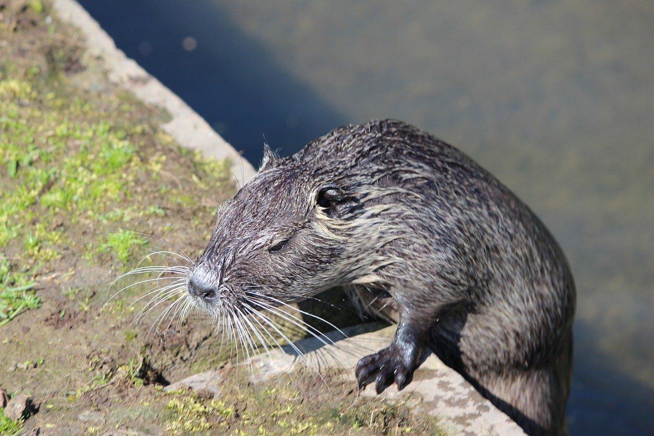 Ондатра животное. описание, среда обитания и особенности ондатры | животный мир