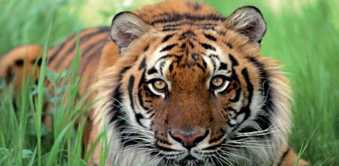 Какими качествами обладают люди, рожденные в год тигра: полная характеристика этого знака зодиака