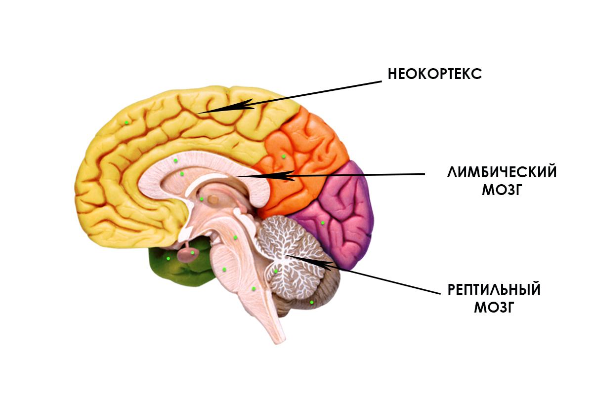 Неокортекс википедия