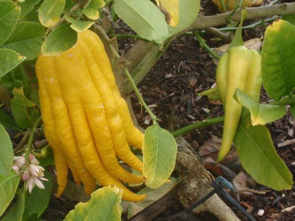 Цитрон - описание фрукта, польза и вред, калорийность, состав. как выбирать и хранить цитрон, применение в кулинарии