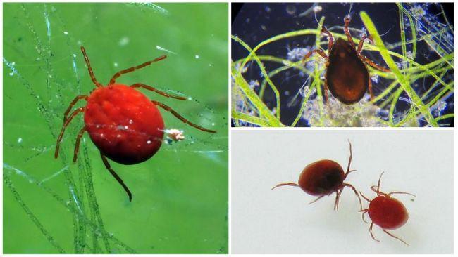 Виды клещей - описание, среда обитания, жизненный цикл, внешний вид, размножение, опасность и вред