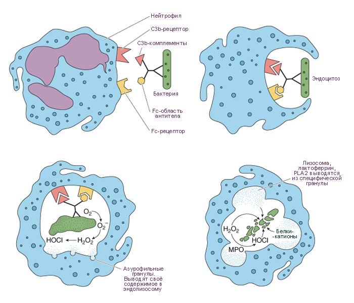 Фагоциты: определение, виды, функции | food and health