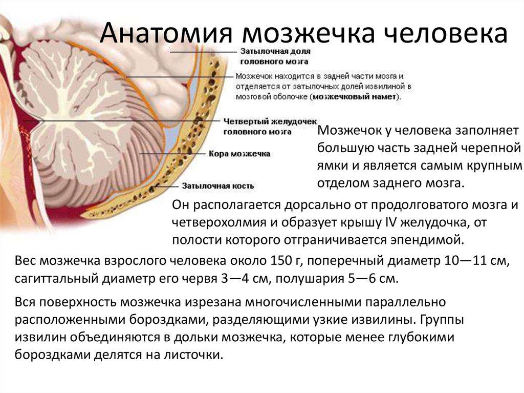 За что отвечает мозжечок: функции, строение, где находится
