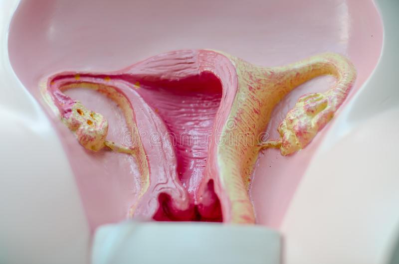 Как должны выглядеть женские половые органы? как проверить, все ли у вас в норме