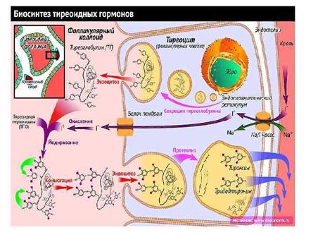 Антитела к тиреоглобулину: что это такое, норма