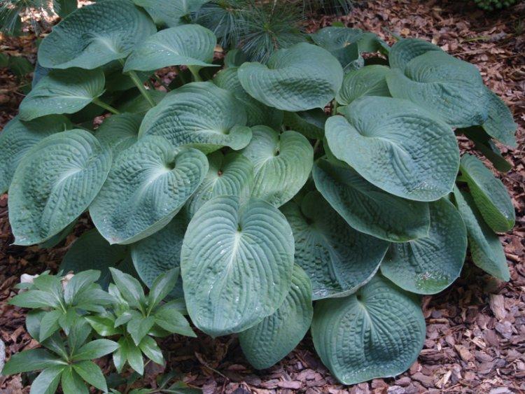 Хосты: посадка в открытый грунт и уход, выращивание в саду