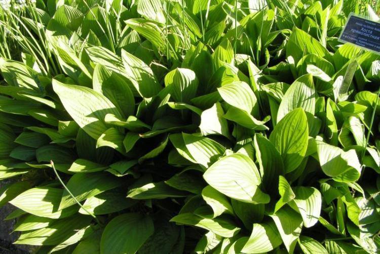Хоста (растение) — википедия. что такое хоста (растение)
