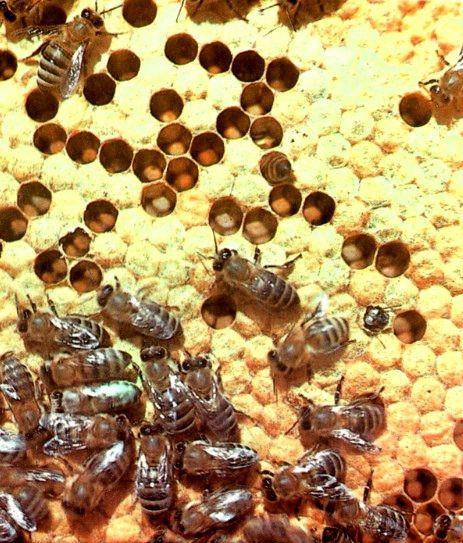 Как пчелы создают жилище и что такое сот?