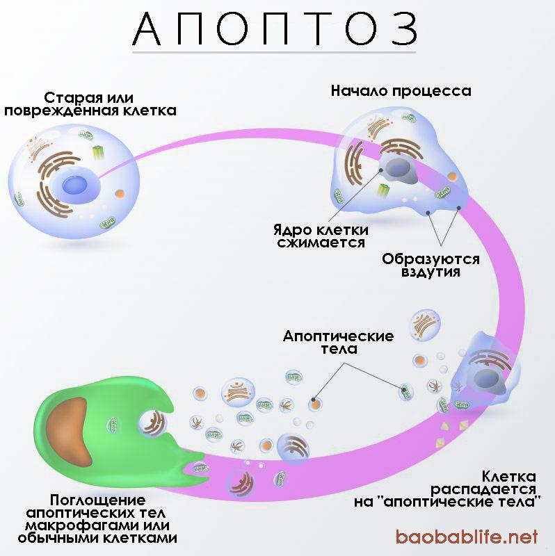 Апоптоз клеток: определение, механизм и биологическая роль