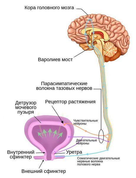 Энурез у взрослых: причины заболевания и лечение