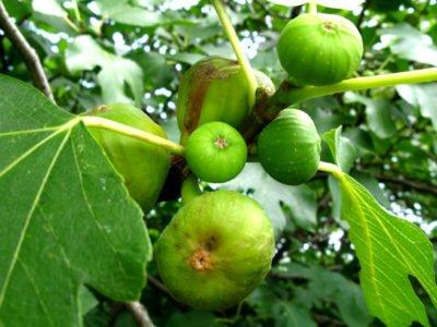 Фиговое дерево – что это такое, как выглядит, где растет, особенности выращивания в открытом грунте