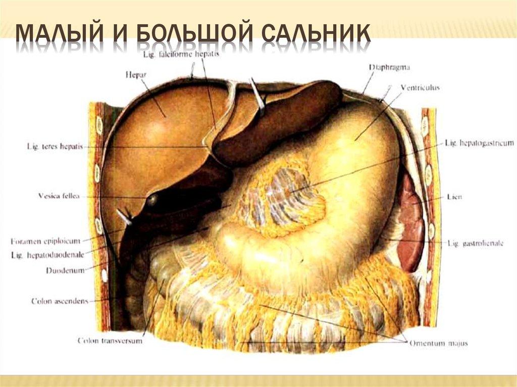 Большой сальник: анатомия, патология, лечение
