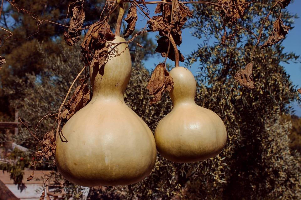Лагенария – что это такое, особенности съедобных и декоративных сортов, правила выращивания
