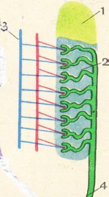 Почки строение нефрона. структурно функциональная единица почки — нефрон что такое нефрон