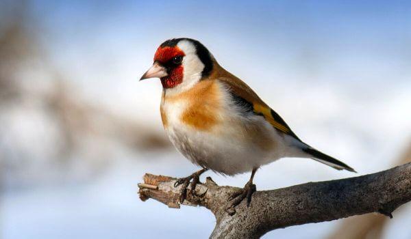 Тупик (птица)