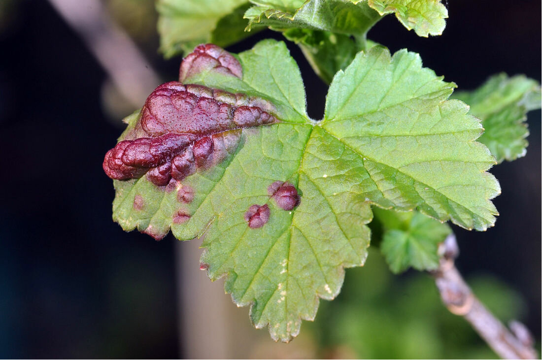 Красные пятна на листьях смородины: как бороться и чем лечить, обработать, какие болезни вызывают