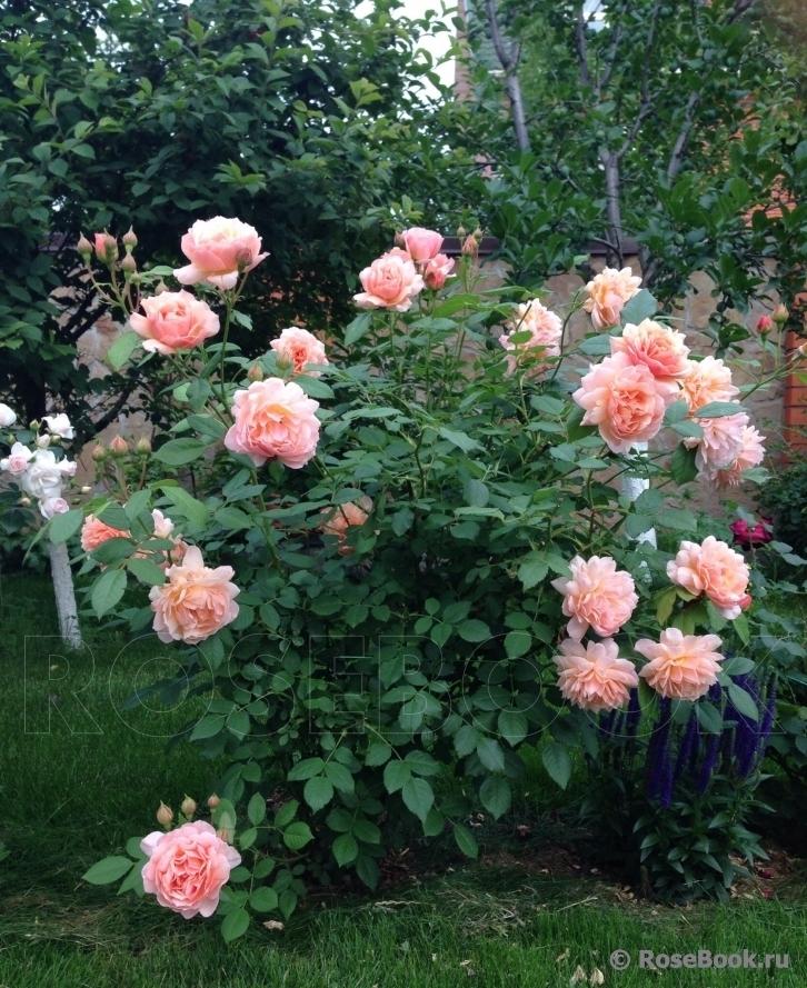 Что роза шраб — описание сорта
