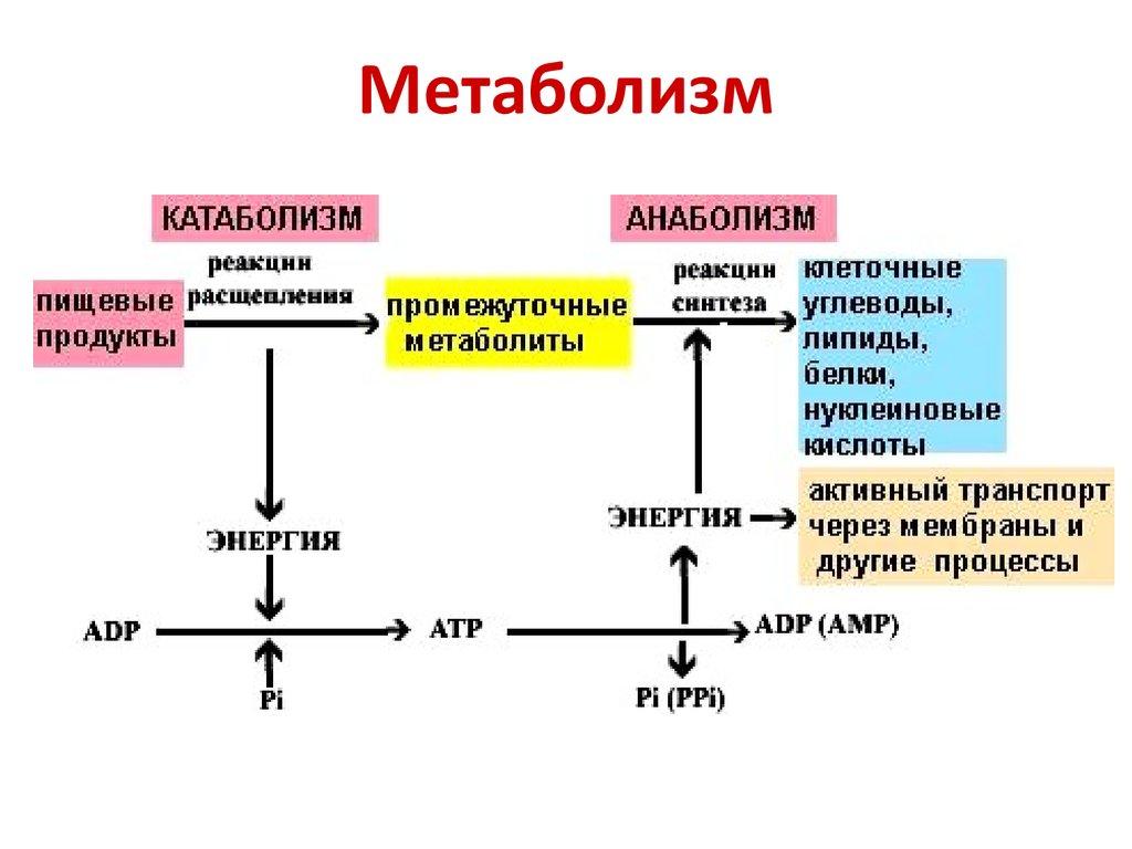 Метаболизм, анаболизм, катаболизм: что это такое и как происходит простым языком
