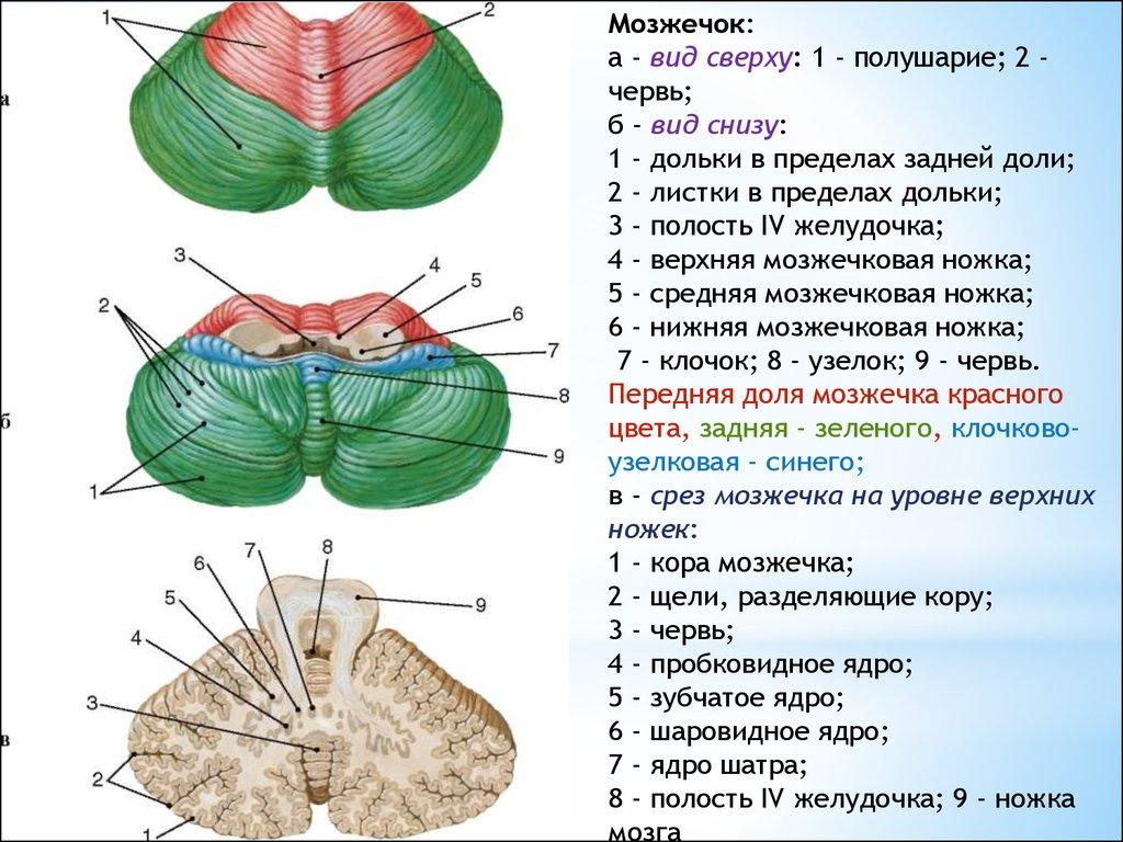 Строение и функции мозжечка. поражение мозжечка головного мозга