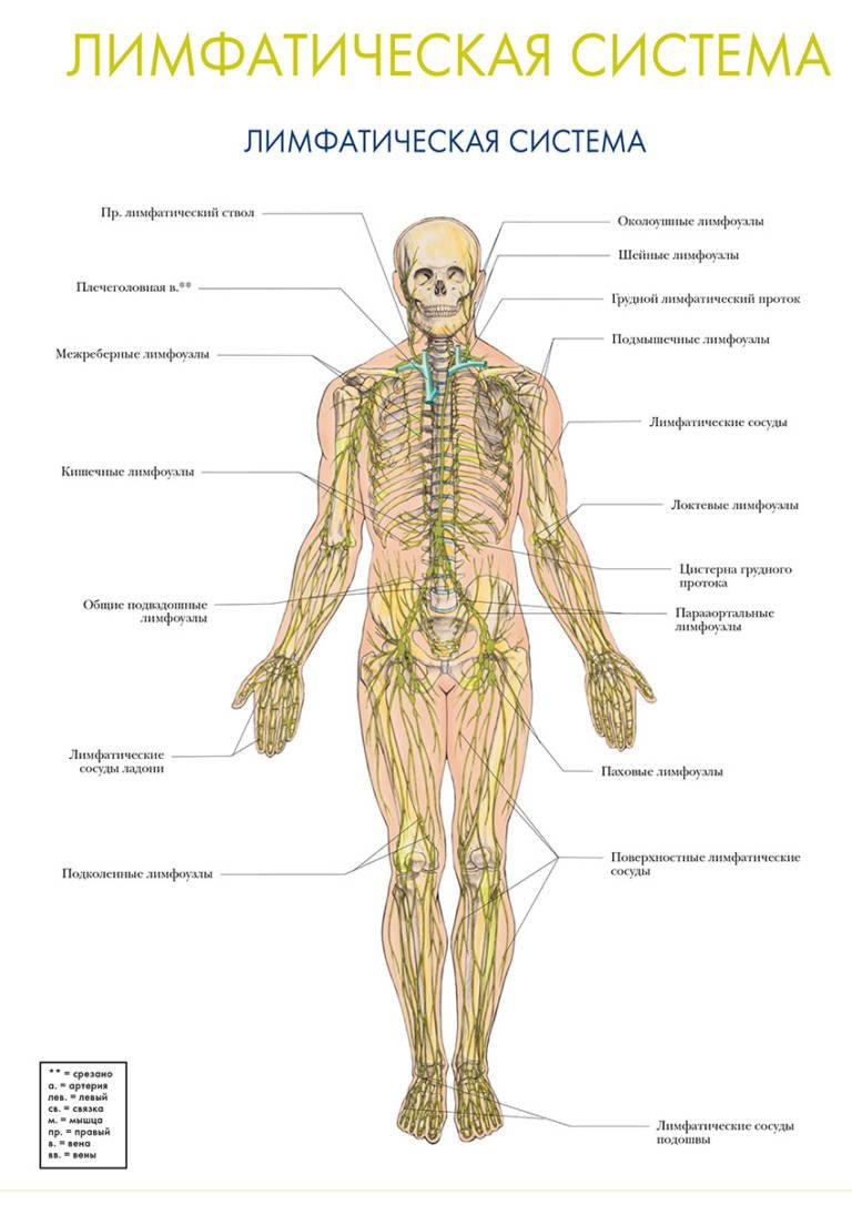 Что такое лимфатические сосуды, их строение и функции
