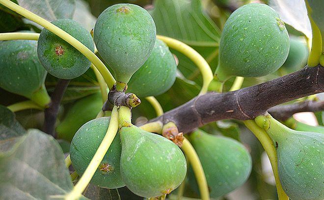 Фиговое дерево — викицитатник