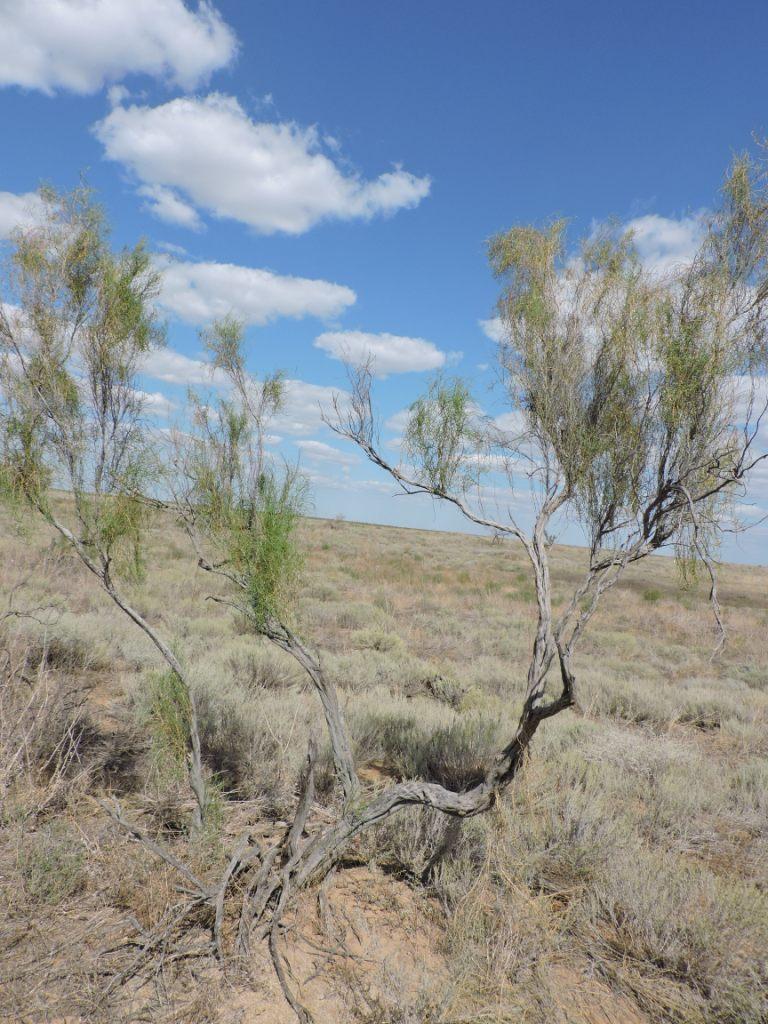 Саксаул черный – растение пустыни — заповедник черные земли — официальный сайт