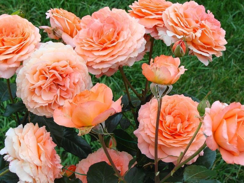 Великолепные розы-шрабы: фото и описание, применение в дизайне сада