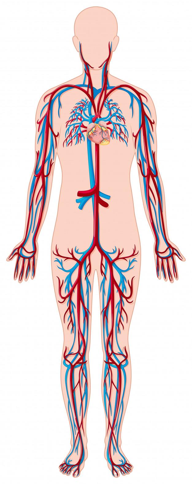 Что такое сосуды | сосуды - причины, симптомы, диагностика, лечение, профилактика
