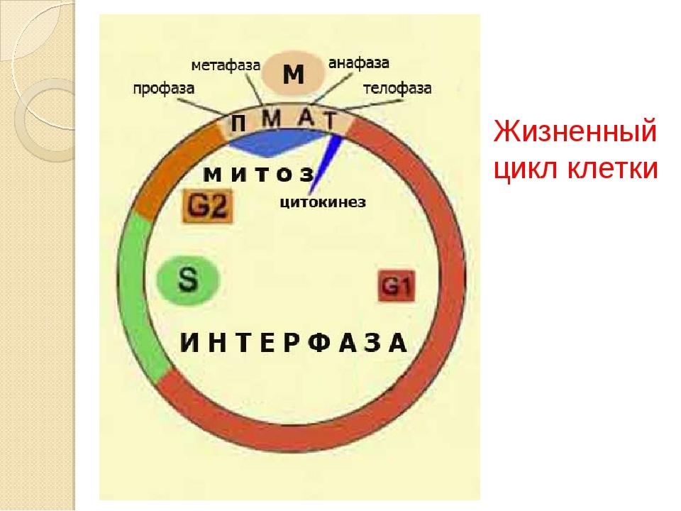 Что такое клеточный или жизненный цикл. жизненный цикл клетки