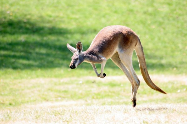 Кенгуру — википедия. что такое кенгуру