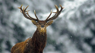 Олень - 87 фото основных подвидов благородного животного
