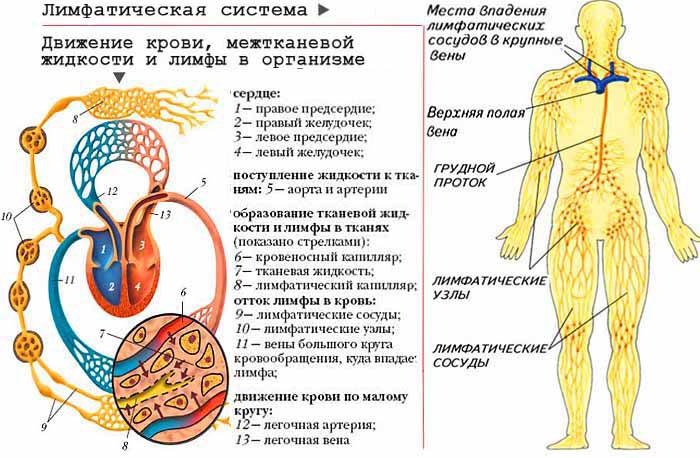 Как улучшить лимфоотток в организме: препараты, народные средства