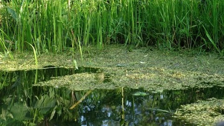 Ряска в аквариуме и ее полезные свойства или все же вред